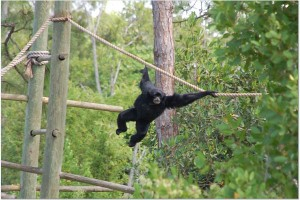 Siamang at the Naples Zoo, photo courtesy of Pete Corradino.